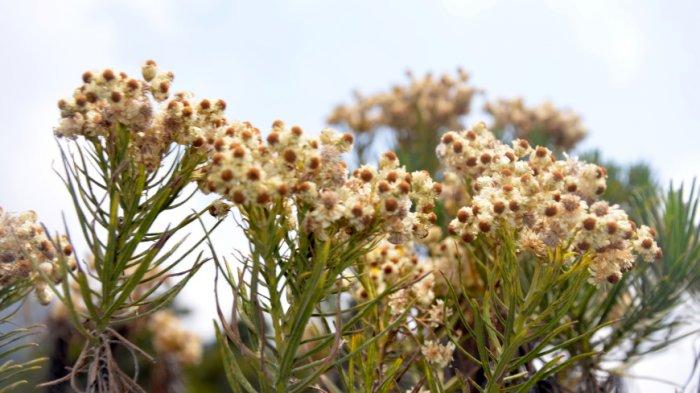 Disebut Bunga Abadi Ini 10 Fakta Edelweis Yang Belum Diketahui Banyak Orang Tribun Travel