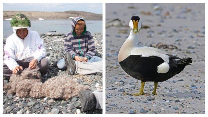 Fakta Unik Eiderdown, Bulu Bebek dari Pulau Terpencil Islandia yang Harganya Fantastis