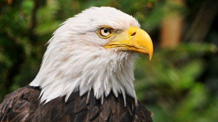 Dilanda Gempa Bumi Burung Elang Di California Malah Tinggalkan Anak Dan Sarangnya Ternyata Tribun Travel