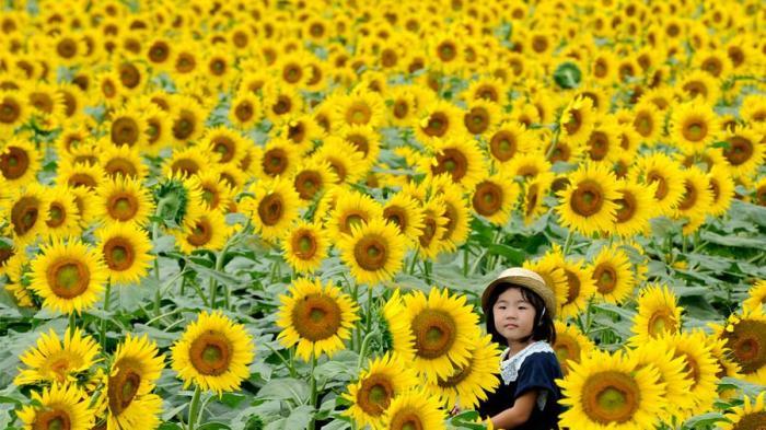5 Kebun Bunga Matahari Terbaik di Indonesia, Cocok Buat Pecinta Selfie