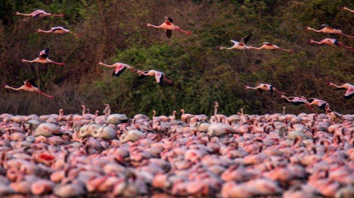 Kawanan Flamingo Ubah Danau di Kota Mumbai Berwarna Merah Muda Saat Pandemi