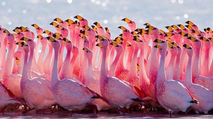 Selain Tampilannya Yang Imut Dan Berwarna Pink 12 Fakta Menarik Flamingo Yang Perlu Kamu Ketahui Halaman All Tribun Travel
