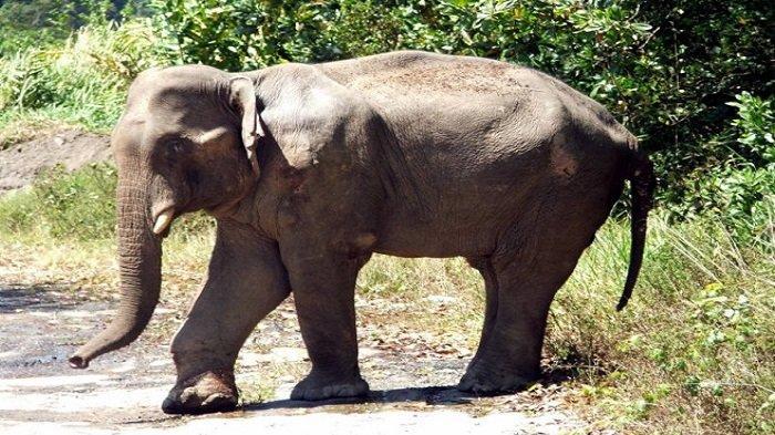 Kelebihan Populasi, Zimbabwe Jual 100 Gajah ke China dan Dubai