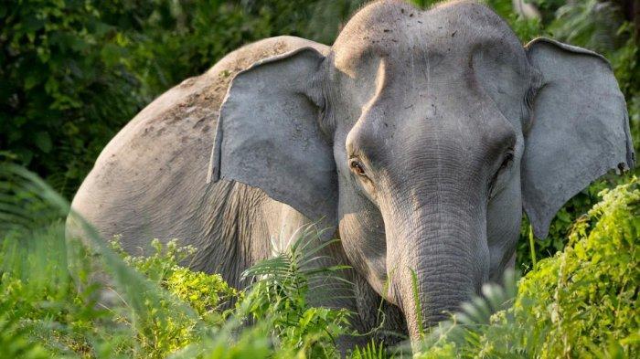 Video Gajah Dipukuli hingga Meronta Kesakitan Viral di Medsos, 2 Pelatih Ditahan