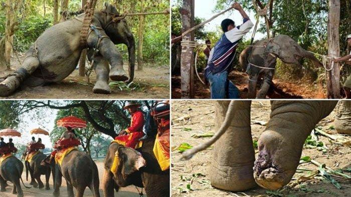 Ditangkap untuk Tujuan Pariwisata, Ini Sisi Gelap Kekejaman Eksploitasi Gajah di Thailand