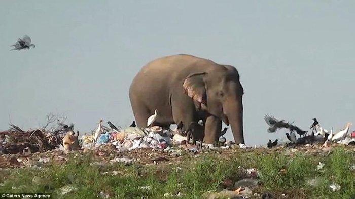 Cegah Konflik Manusia-Gajah, Ini yang Dilakukan Pemerintah Sri Lanka ke Puluhan Gajah yang Kelaparan