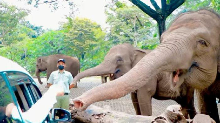Pengunjung memberi makan gajah di Taman Safari Prigen.