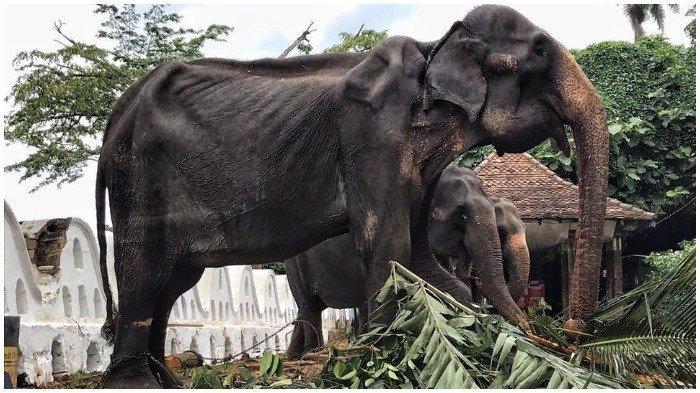 Gajah Kurus Parade Sri Lanka Tikiri Dilaporkan Mati