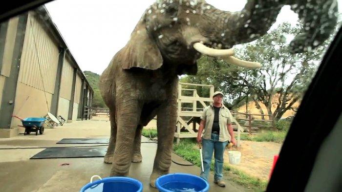 Miris! Gajah di Taman Safari Ini Dipekerjakan untuk Cuci Mobil, Videonya Banjir Kecaman