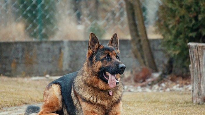 Viral di Medsos, Video Anjing Dipaksa Makan Cabe hingga Menangis