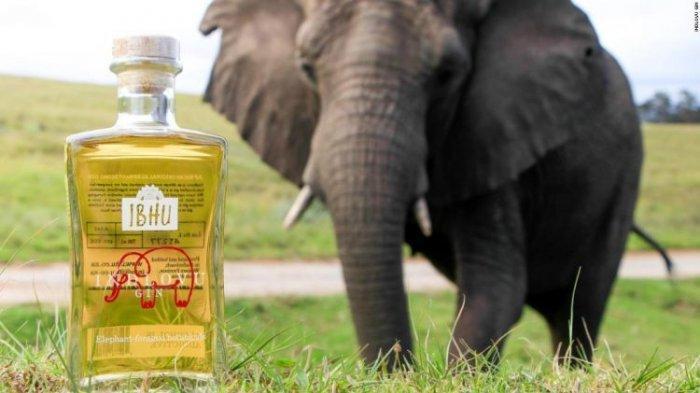 Fakta Unik Indlovu, Minuman Beralkohol Kualitas Premium yang Terbuat dari Kotoran Gajah