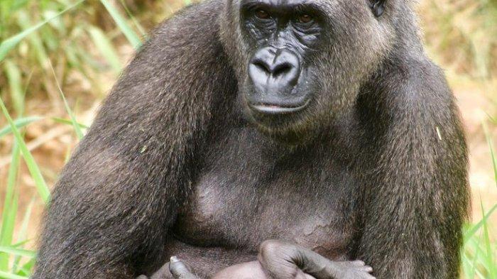 Viral Video Gorila Takut Hujan, Asalnya dari Kebun Binatang Ini