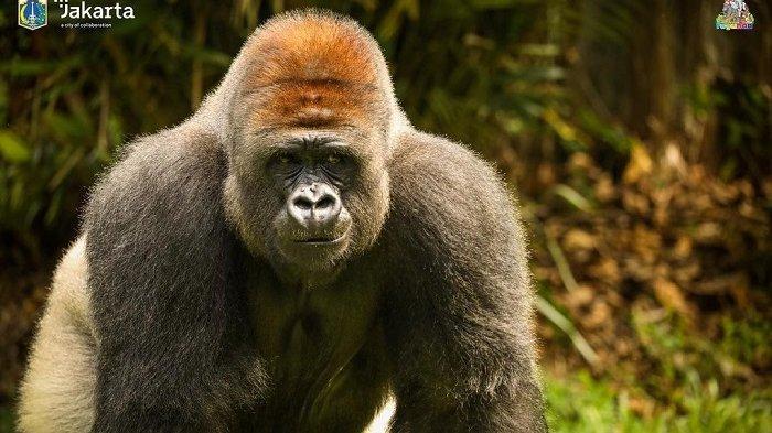 Peringati World Gorilla Day, Yuk Kenalan dengan 3 Gorila di Taman Margasatwa Ragunan