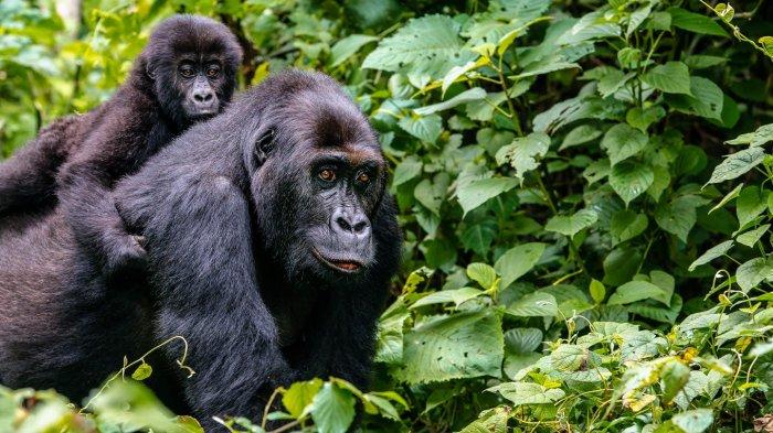 Pawang Kebun Binatang di Spanyol Terluka Parah Usai Diserang Gorila Seberat 200 Kg