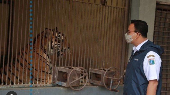 Sempat Terpapar Covid-19, Bagaimana Kondisi Terkini 2 Harimau Sumatera di Taman Margasatwa Ragunan?