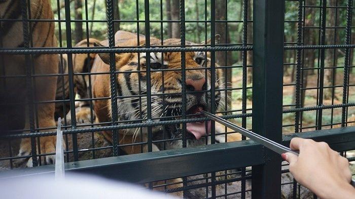 Harga tiket Carnivore Feeding Adventure di Taman Safari Prigen