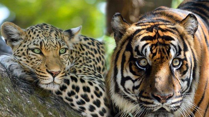 Perbedaan Harimau Dan Macan Hewan Yang Sering Disebut Satu Spesies