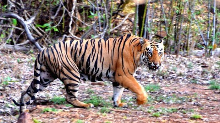 Banyak Harimau Menyeberang, Pengendara Motor yang Melintas di Sini Harus Berhenti untuk Beri Jalan