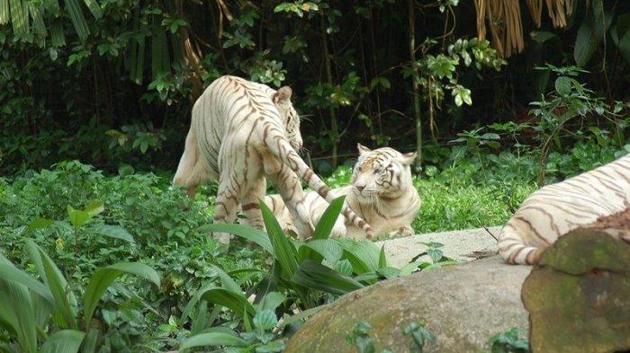 TRAVEL UPDATE: Dua Anak Harimau Putih Mati, Diyakini Terpapar COVID-19