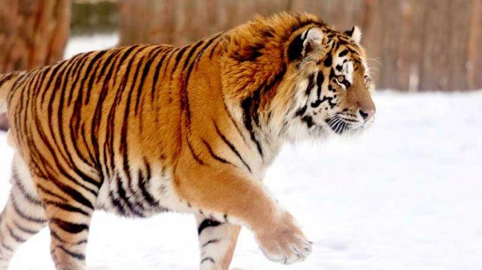 Seekor Harimau Siberia Datangi Rumah Warga di Rusia, Usai Didekati, Kondisinya Memprihatinkan!