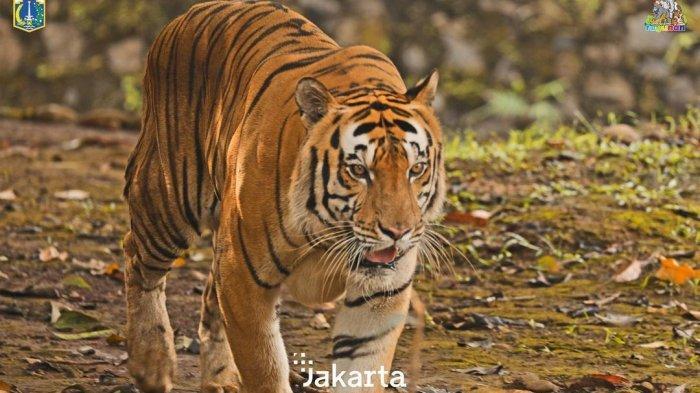 Harimau yang menghuni Ragunan Zoo