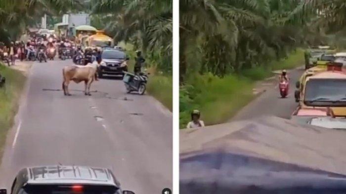 Viral di Medsos, Video Sapi Hadang Ratusan Kendaraan Pemudik hingga Sebabkan Macet Panjang