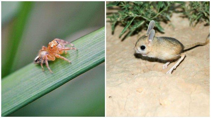 Jerboa hingga Laba-laba, Inilah 9 Hewan Terkecil di Dunia, Ukurannya Tak Lebih dari Koin Receh!