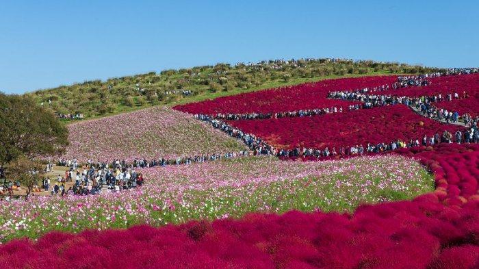 Taman Bunga di Jepang Ini Selalu Berubah Warna Setiap Musim, Intip Pesonanya