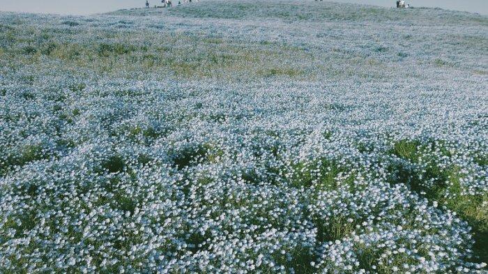 Hitachi Seaside Park, taman bunga populer di Jepang