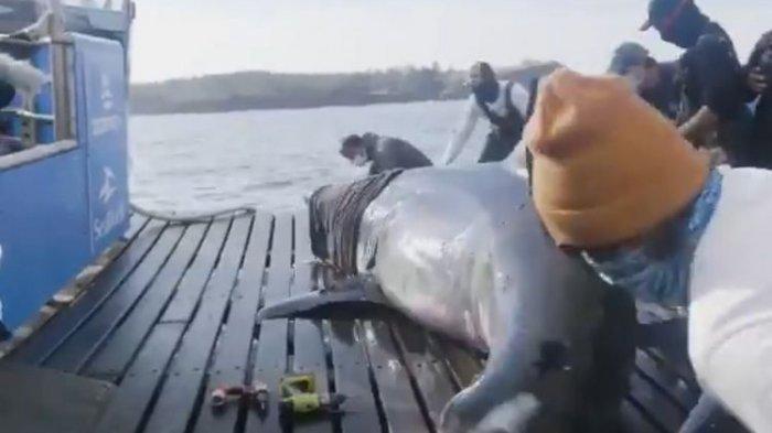 Hiu Putih Raksasa Berjuluk 'Ratu Samudra' Seberat 1,6 Ton Ditemukan di Kanada