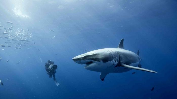 Ikan Hiu dan diver