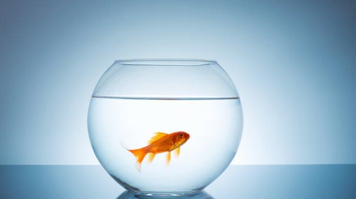 Mengharukan, Proses Operasi Pengangkatan Tumor Pada Organ 'Intim' Ikan Mas