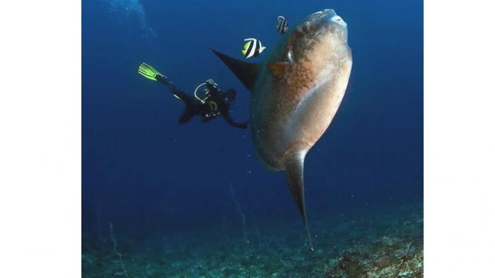 Wisata Diving Bali - Inilah Mola-mola Session, Waktunya Berjumpa Ikan 2,5 Ton di Nusa Penida