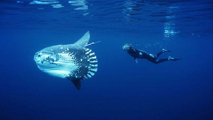 Mengejutkan! Penyelam 'Dikerdilkan' Seekor Mola Raksasa, Tubuhnya Bisa Lahap Manusia Secara Utuh
