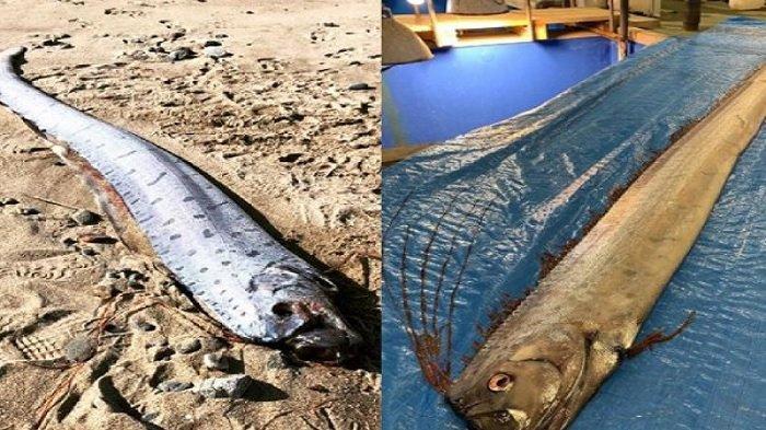 Penampakan Ikan Oarfish di Permukaan Laut Jepang Buat Warga Waspada Gempa dan Tsunami