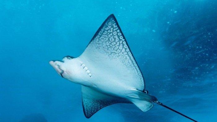 Menteri Agama Lukman Haqim Disengat Ikan Pari Saat Liburan, Seberapa Bahaya Racun yang Dikeluarkan?
