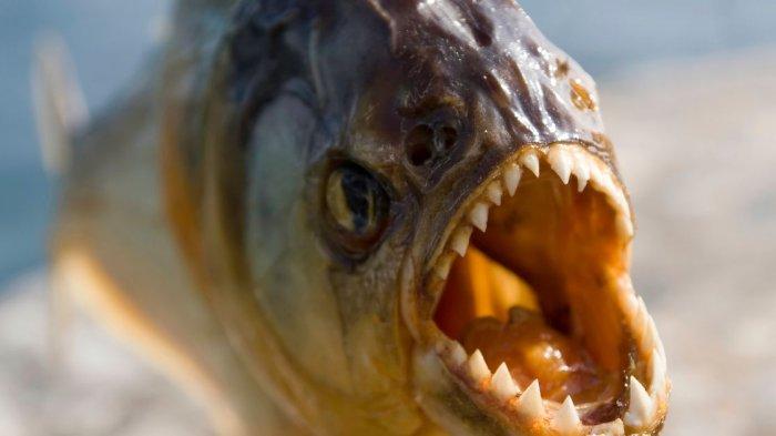 Daftar Serangan Ikan Piranha Paling Mematikan di Dunia, Ada yang Hanya Bersisa Tulang