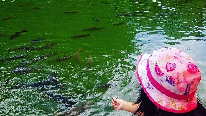 TRAVEL UPDATE: Menengok Ikan Sakti Sungai Janiah di Kabupaten Agam, Dikafani dan Dikubur saat Mati