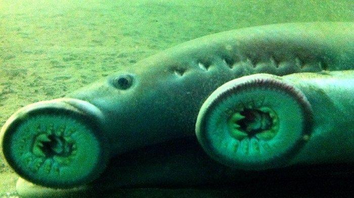Ikan Vampir Langka Muncul di Sungai & Bikin Kaget Penyelam, Mulutnya Penuh Gigi Tajam