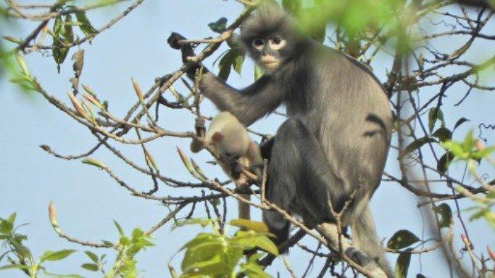 Ilmuwan Temukan Spesies Primata Baru yang Terancam Punah, Hanya Tersisa 260 Ekor di Dunia