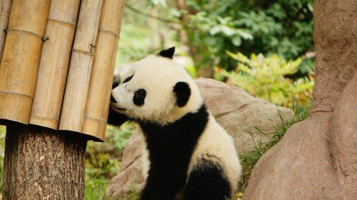 Kebun Binatang Ini Minta Rekomendasi Nama Anak Panda Baru Mereka, Yuk Bantu