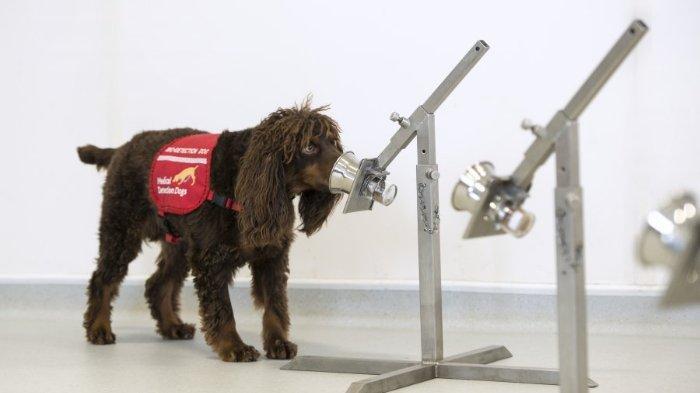 Ilustrasi anjing yang dilatih mendeteksi virus corona