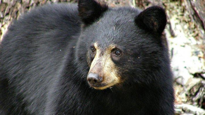 Ilustrasi beruang hitam
