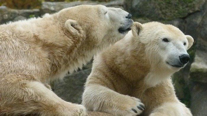 Ilustrasi Beruang kutub