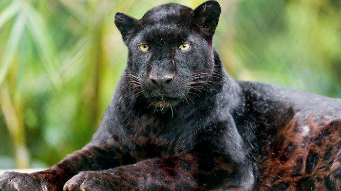 Ilustrasi black leopard atau macan kumbang hitam, Jumat (30/10/2020).