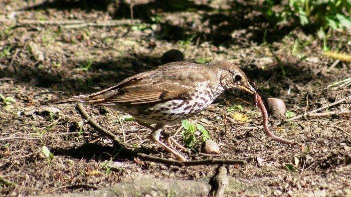 Ilustrasi burung makan cacing, Selasa (6/1/2021).