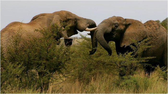 Ilustrasi gajah liar