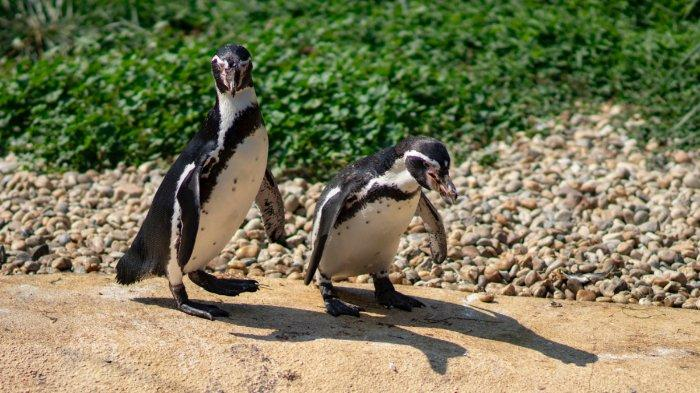 Curi Penguin dan Menjualnya di Facebook, Mantan Penjaga Kebun Binatang Dipenjara