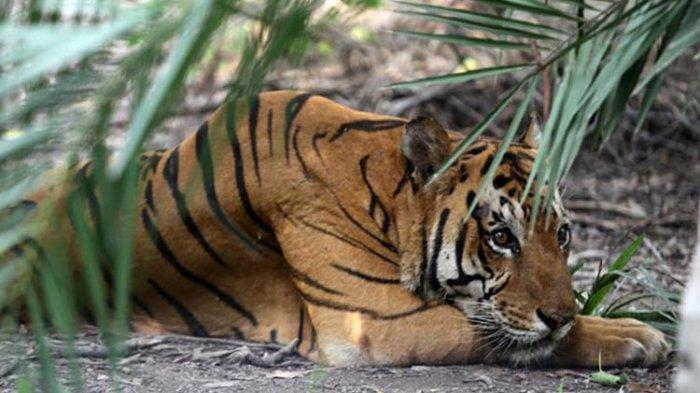 Kepolisian Thailand Tangkap Dua Warga Vietnam Usai Temukan Tulang dan Daging Harimau di Tas Mereka