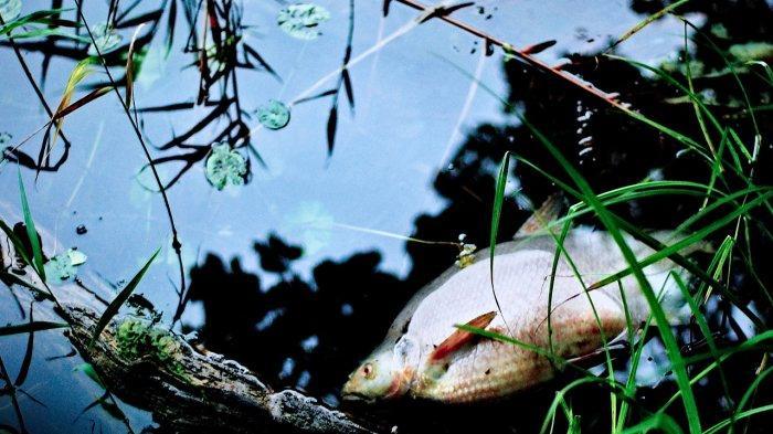 Ilustrasi ikan mati di danau